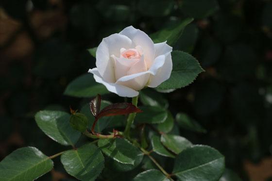 ブライダルティアラは日差しに透けてウッスラとピンク色がかかる