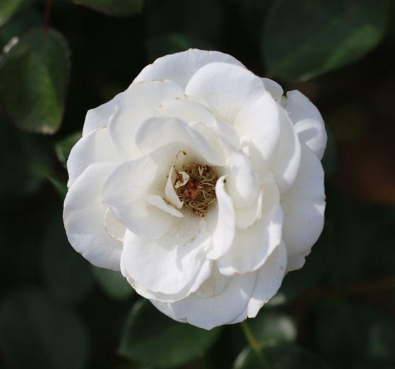 丸弁平咲きの花弁はまとまりのよい花形になる