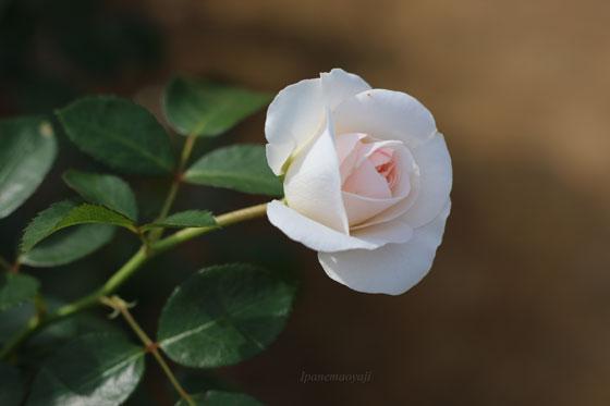 ブライダルティアラはフロリバンダ系統のバラ