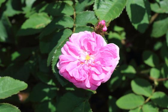 ジェームスミッチェルはオールド・ローズ系統のバラ