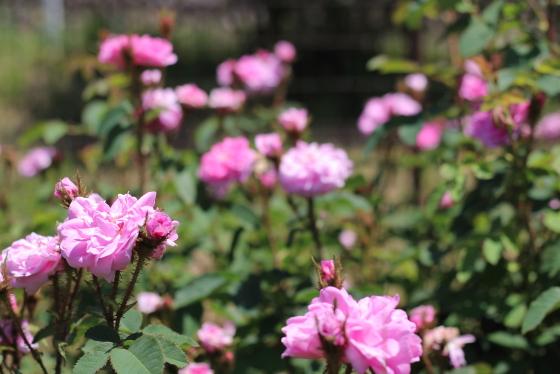 強健でシュートの発生が多く次々と花をつけます