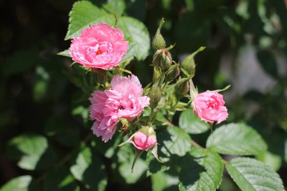 ピンクグルーテンドルストはハイブリッド・ルゴサ系統