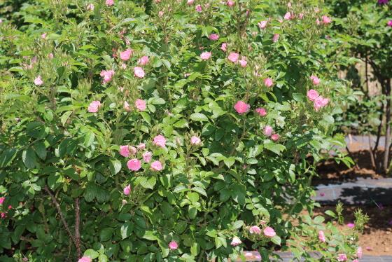 ピンクグルーテンドルストは非常に強健な品種