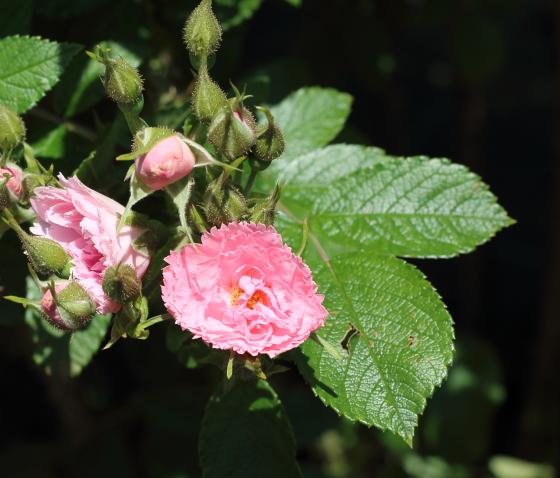 ピンクグルーテンドルストの樹高は120cmで半直立性