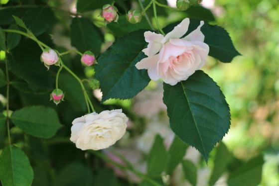 開花時は八重咲きで、やがてロゼット咲きに変わりますよ