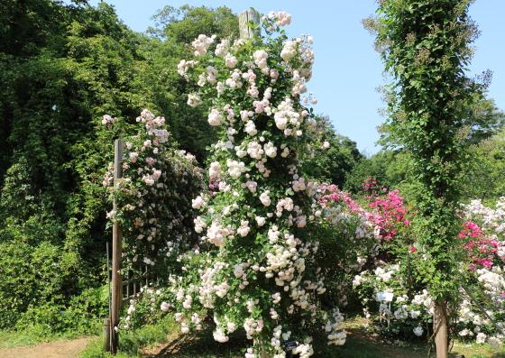 ピンクプロスペリティの枝は400cm近く伸長します
