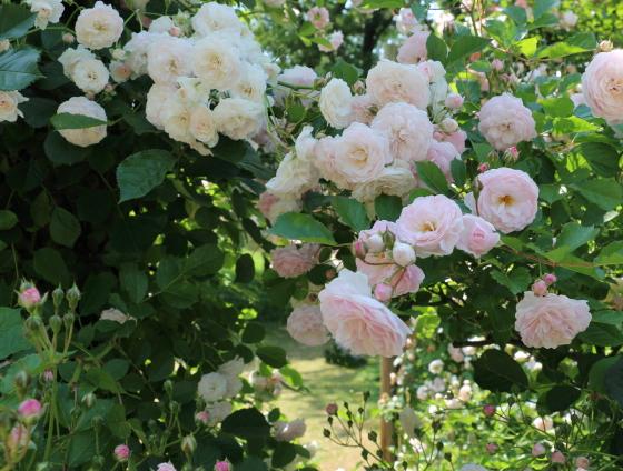 数え切れないほどの房咲きになるバラ