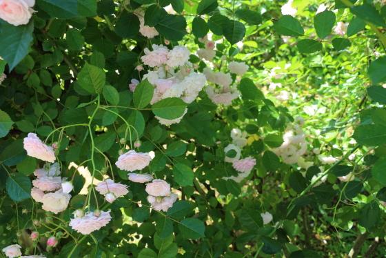 ピンクプロスペリティが春の日差しに当たって明緑色の葉が美しい