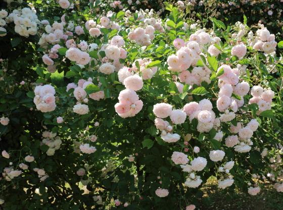 花つきが非常に良いバラで、株全体を覆いつくすほど