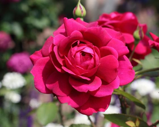 レイはシュラブ系統で四季咲き性のバラです