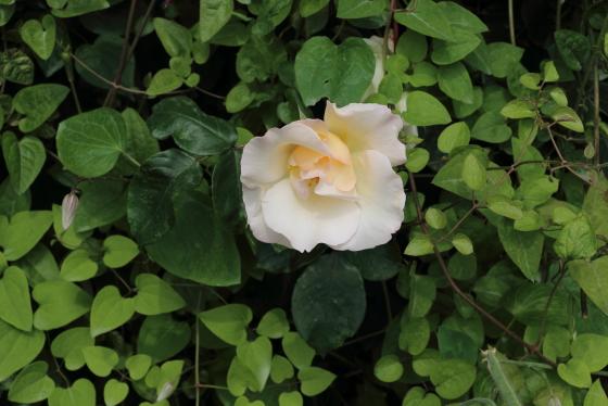ウィンドソングは一重咲きのバラ
