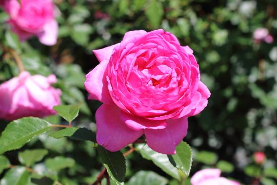 ローズピンク色の美しい花弁