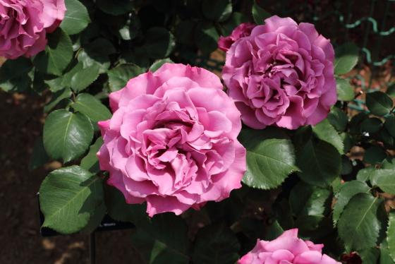 ラベンダー色の丸弁八重咲きのバラ