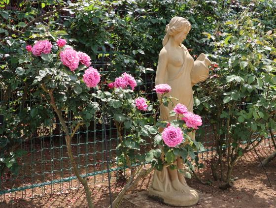 ブルー系の強香があるバラ