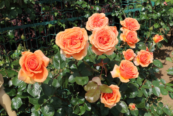 明るいオレンジ色の花色