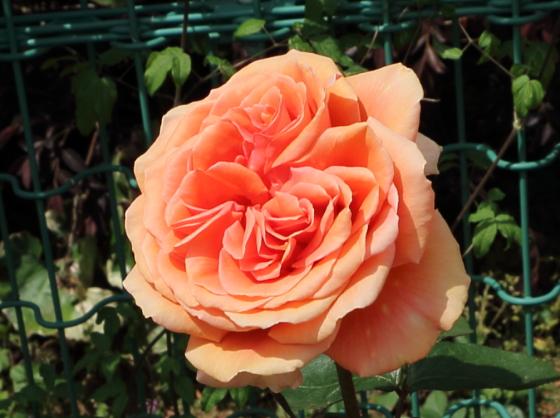アシュラムはハイブリッドティー系統のバラ