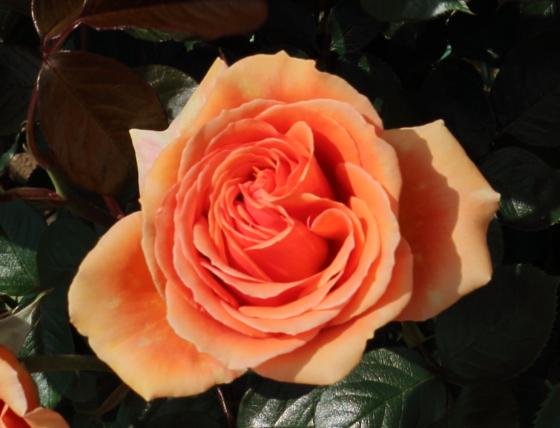 アシュラムは丸弁高芯咲きのバラ