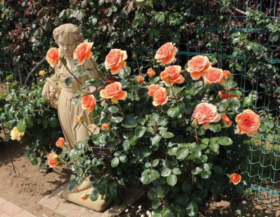大輪の四季咲きバラ