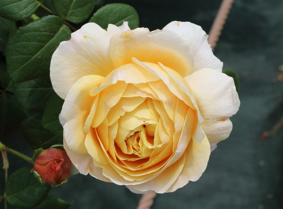 イングリッシュローズの中でも最も大きな花径のバラ