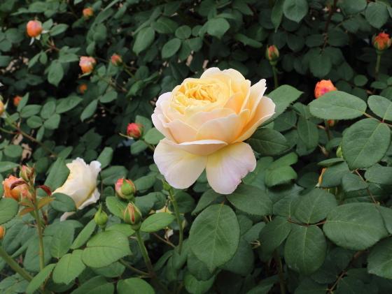 深めのカップ咲きから開いていくと花芯が見える程になる