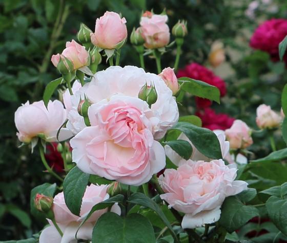 エグランタインはカップ咲きからロゼット咲きへ変化します