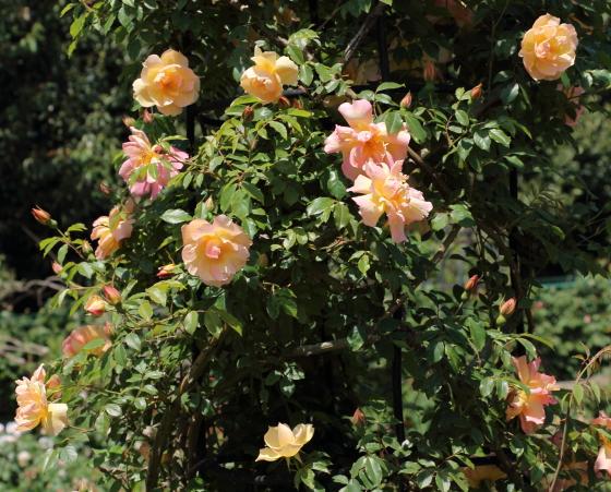 フォーチュンズダブルイエローは明るいオレンジ色の半八重咲き