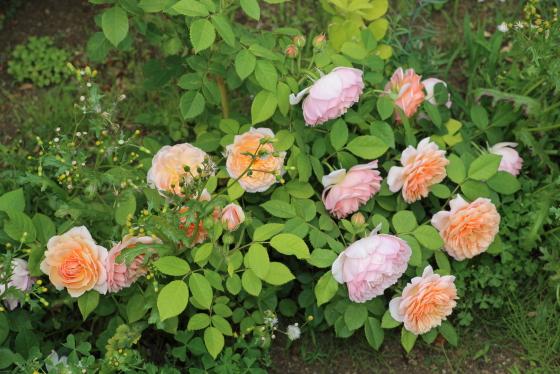 夏になるとロゼット咲きの花弁が更に細かくなる
