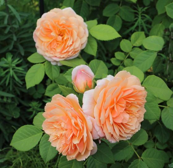 花弁の外側が反り返って咲きます