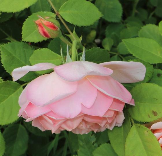 枝は細くて繊細で花は重さで枝垂れ気味に咲く