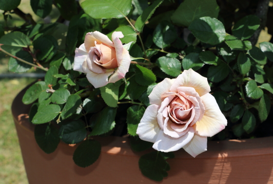 グレイドーンは四季咲き性で晩秋まで咲き続けます