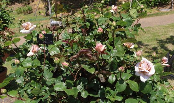 グレイドーンの弁色は淡い茶色のフロリバンダ種