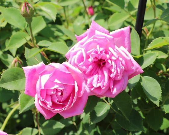 エルモサは花弁の外側が少し反り返る