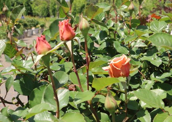 ジュリアは四季咲きの代理サイズのバラ
