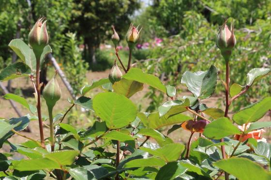 ジュリアはコンパクトな樹形で鉢植え向き