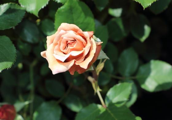 茶色系のシックな花色のバラ