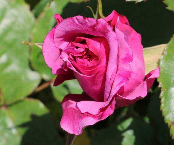 フェルゼン公爵はフロリバンダ系統のバラ