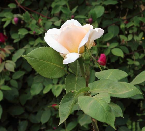 マダムアルベールバルビエは淡いアプリコット色のバラ