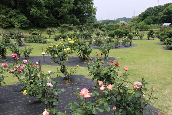 野津田バラ園の風景