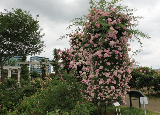 春の京成バラ園 つるバラも枝先が伸び出している