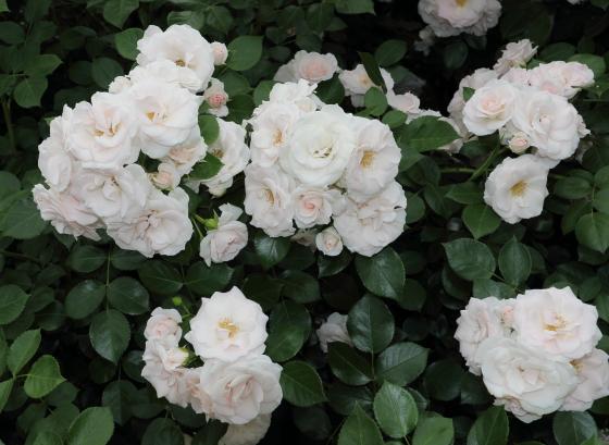 アスピリンローズは半剣弁平咲きのバラ