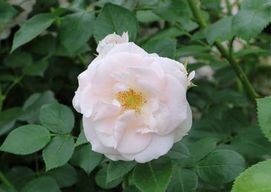 白色系のフロリバンダ系統のバラ