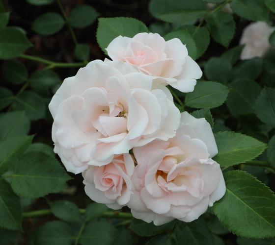 ドイツのタンタウが作出したバラ