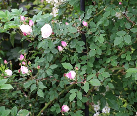 一季咲きつる性のバラ