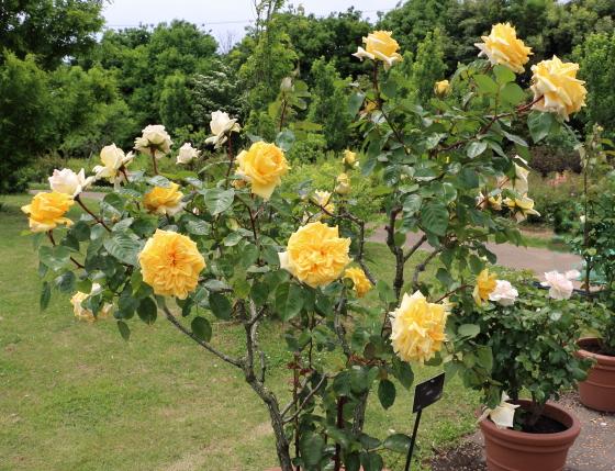あゆみは京成バラ園芸が作出したバラ