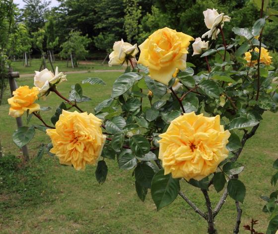 1輪咲きでボリュームのある花弁