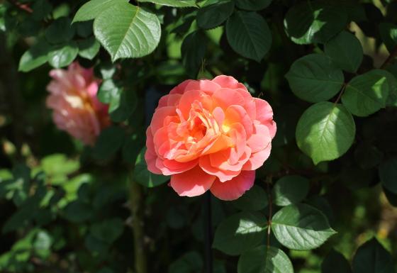 コンデサデサスタゴはハイブリッドティー系統のバラ