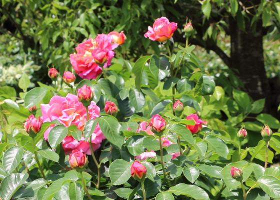 コンデサデサスタゴは四季咲き性の大輪花