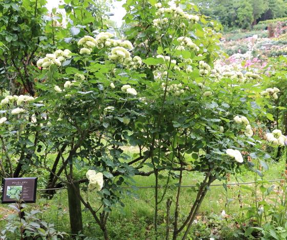 クリーミーエデンはカップ咲きの中輪サイズの花弁です