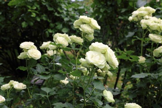 クリーミーエデンは弁端に淡いグリーン色が入るバラ