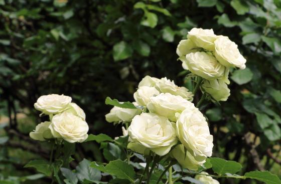 クリーミーエデンはフロリバンダ系統のバラ